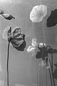 Vertical Black & White Poppy Flowers