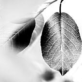 Leaf Detail, Close-Up