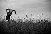 Animal Skull in Field