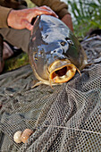 A 10 Kilogram Common Carp Caught Using Bait, No-Kill Fishing With The Fish Being Immediately Returned To The Water, Lake In Mezieres-Ecluizelles, Eure-Et-Loir (28), France