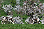 Normandy Cows Underneath The Flowering Apple Trees In A Meadow, Orne (61), France, Europe