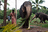 Gathering Palms, Work Carried Out By An Elephant, Kerala, Southern India, Asia
