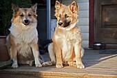 Icelandic Sheepdogs, Iceland, Europe