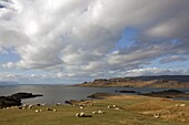 Icelandic Sheep, Landscape In Autumn Colours In The Area Around Djupadalur, Western Fjords, Iceland, Europe