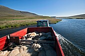 Tractor Full Of Sheep Crossing A River, The Big Round-Up Of Herds Of Sheep (Rettir In Icelandic), An Icelandic Tradition That Consists Of Bringing Back The Sheep That Had Been In Mountain Pasture In Summer, Undirfellsrett, Northwest Iceland, Europe