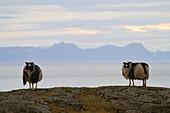 Icelandic Sheep, Northern Iceland, Europe