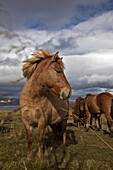 Herd Of Icelandic Horses In A Pasture In The Area Around Djupadalur, Western Fjords, Iceland, Europe