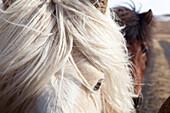 Herds Of Icelandic Horses, Northwestern Iceland, Europe