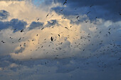 Seagulls Flying In A Cloudy Sky, Cayeux-Sur-Mer, Bay Of Somme (80), France