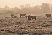 Scottish Cows In A Meadow In Winter, Noyelles, Somme (80), France