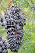 Spider Web In Front Of A Red Grapevine, Grape Harvest In Champagne, Essomes-Sur-Marne, Aisne (02), France