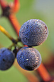 Detail Of Red Grapes Covered In Dew, Grape Harvest In Champagne, Essomes-Sur-Marne, Aisne (02), France