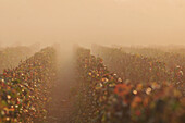 Vineyards Of Champagne In The Autumn Mist, Essomes-Sur-Marne, Aisne (02), France