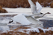 An Adult And Juvenile Trumpeter Swan Take Off From A Pond Near Girdwood, Southcentral Alaska, Autumn