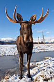 A Wide-Angle View Of A Bull Moose Standing On Thin Snow At The Alaska Widllife Conservation Center, Southcentral Alaska, Winter. Captive