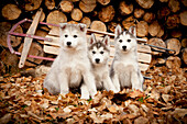Three Siberian Husky Puppies Sit In Leaves With Runner Sled And Woodpile In The Background, Alaska, Autumn