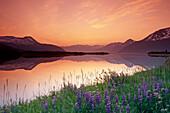 Lupine At Sunset Along Turnagain Arm Chugach Nf Ak