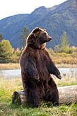 Captive: A Large Brown Bear Sits On A Log At The Alaska Wildlife Conservation Center, Southcentral Alaska