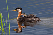 Red-Necked Grebe Adult Swimming In Water At Potter Marsh With Newborn Chicks Riding On Back, Anchorage, Alaska