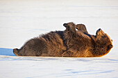 Adult Brown Bear Rolling On Its Back In The Snow At Alaska Wildlife Conservation Center, Portage, Southcentral Alaska, Winter, Captive