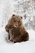 Captive: Female Brown Bear Cub From Kodiak Holds Onto A Log While Sitting On A Snow Covered Hill In A Snowstorm At The Alaska Wildlife Conservation Center, Southcentral Alaska, Winter