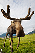 Captive: Wide Angle Close Up Of An Approaching Moose With Antlers In Velvet, Alaska Wildlife Conservation Center, Southcentral Alaska, Summer
