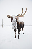 Captive: Bull Moose, With One Antler, Standing In Snow At Alaska Wildlife Conservation Center, Southcentral Alaska, Winter