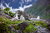 Seagull Nests With Chicks, Shoup Bay State Marine Park, Prince William Sound, Southcentral Alaska