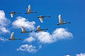 Trumpeter Swans In Flight During Spring Migration, Marsh Lake, Yukon Territory, Canada