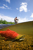 Close Up Of Sockeye Salmon In River With Fly Fisherman In Background Alagnak River Katmai National Park And Preserve Southwest Alaska Summer Composite