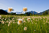 Alaska Cotton Grass In Bloom In A Meadow With The Mendenhall Towers And Coast Mountains In The Background, Southeast, Alaska.