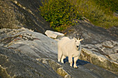 Mountain Goat On Rocky Shore Of Tracy Arm Se Ak Summer Fords-Terror Wilderness Area