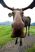 Captive: Close-Up, Wide-Angle View Of A Bull Moose At The Alaska Wildlife Conservation Center In Southcentral Alaska