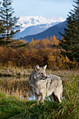 View Of An Adult Coyote At The Alaska Wildlife Conservation Center Near Portage, Southcentral Alaska, Fall, Captive