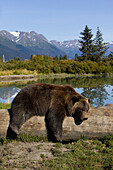 A Captive Female Grizzly Lies Draped Over A Log With A Pond And Mountains In The Background, Alaska Wildlife Conservation Center, Southcentral Alaska, Summer. Captive