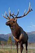 Portrait Of A Rocky Mountain Bull Elk At The Alaska Wildlife Conservation Center Near Portage, Southcentral Alaska, Autumn. Captive