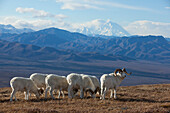 Band Of Dall Sheep Ram Standing And Grazing In A High Mountain Meadow With Mt. Mckinley In The Background, Interior Alaska, Autumn