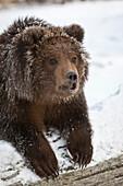 Captive: Kodiak Brown Bear Cub Peeks Over A Snow Covered Log, Alaska Wildlife Conservation Center, Southcentral, Alaska, Winter