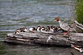 A Large Brood Of Common Merganser Ducklings Rest On A Log, Cooper Landing, Southcentral Alaska, Summer