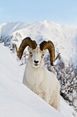Close Up Of A Full-Curl Ram Dall Sheep Standing On A Steep Slope In Deep Snow, Chugach Mountains, Southcentral Alaska, Winter