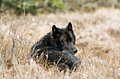 Archipelago Wolf In Black Color Phase Laying In Grass Southeast Alaska Winter Tongass Nat Forest