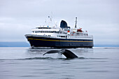 Humpback Whale Surfaces Near An Alaska Marine Highway Ferry In The Lynn Canal Of Inside Passage Of Southeast Alaska