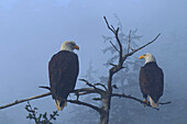 Bald Eagles Perched In The Top Of An Old Spruce Tree On A Misty Morning In The Tongass National Forest, Southeast Alaska, Winter, Composite