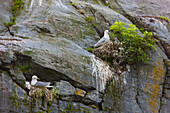 Black-Legged Kittiwake Adults On Nests With Chicks, Kittiwake Rookery, Shoup Bay State Marine Park, Prince William Sound, Southcentral Alaska