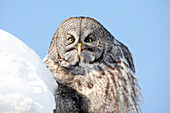 Great Gray Owl sits alert next to snowbank, Anchorage, Southcentral Alaska, Winter