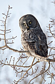 Close up of a Great Gray Owl perched in a tree, Anchorage, Southcentral Alaska, Winter
