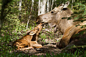 A new moose calf nuzzles her mom as they lay in the woods near Cheney Lake, Anchorage, Southcentral Alaska, Spring