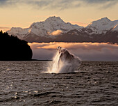 COMPOSITE:A Humpback Whale breaches in Alaska's Inside Passage at sunrise, Eagle Peak, Admiralty Island beyond, Southeast, Summer