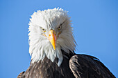 'American bald eagle;Alaska usa'