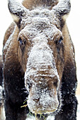 'Moose (alces alces) face covered in snow;Yukon canada'